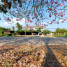 Tabebuia blossoms in Thailand - pink trumpet tree