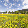 Dandelion field in Valle, Norway