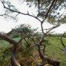 Træet på Bjerget i Liseleje