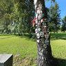 Памятная береза на Пискаревском кладбище. Commemorative birch on Piskarevskoe cemetery.