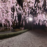   Taizoin Zen Buddhist Temple Sakura cherry blossoms Kyoto