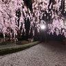 妙心寺 退蔵院 Taizoin Zen Buddhist Temple Sakura cherry blossoms Kyoto
