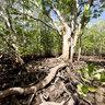 Seychelles, Mahe, Mangroves