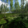 Finnish birch forest summer
