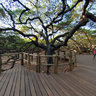 The biggest cashew tree in the world! - Natal / Brazil