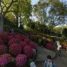 rhododendron Celebration
