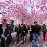 Kungsträdgården and cherry blossoms