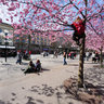 Kungsträdgården and cherry blossoms