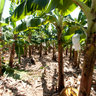 Organic Banana Plantation in Mao, Dominican Republic