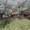 MichAdel | Japan Kumagaya Sakura Panorama