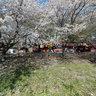 MichAdel | Japan Kumagaya Sakura Panorama