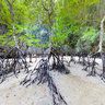 Mangroves at Ko Phanak