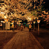 sakura at night in Mishima-taisha 1