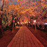 sakura at night in Mishima-taisha 2