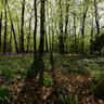 Bluebells at Ashridge Estate, Chilterns