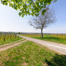 Springtime in the Vineyards of Kostheim