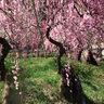 しだれ桜名古屋農業センター