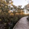 Mangroves on Ash Island