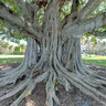 Palm Beach - Banyan Tree @ Intracoastal