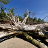 Fallen Tree, Plum Island, Sandy Hook, NJ