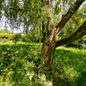 Under the Willow Tree, Totteridge Green