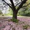 新宿御苑: 桜