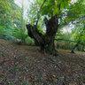 Chestnut trees at Outeiro, parish of Domés (San Martiño), Verea, Ourense, Galicia, Spain