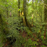 Mt Koghi Fern Forest