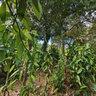 Lifou tour New Caledonia Vanilla Plantation Mou