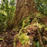 Giant Kaori New Caledonia