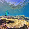 World Heritage Site New Caledonia Lagoon Coral Reef Batfish Platax Teira