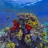 Red and Yellow Octocorals at Ilot Kouare New Caledonia