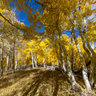 Fall Aspens (Yellow Madness)