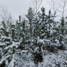 Taty`shev Island, pine trees in snow