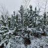 Taty`shev Island, pine trees in snow