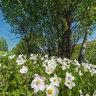 Taty`shev Island, blooming anemones