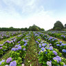 Field of hydrangeas near Moulin de Craca - France