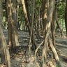 The Great Banyan Tree-By Shadat