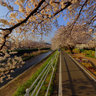 Cherry blossoms. Banks of a NAGAO-River.  (Shizuoka City)