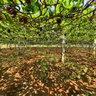vine yards