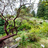Manzanitas in the Tilden Park Botanic Garden