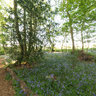 Evening Bluebells in Gunton Wood