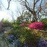 Phlox and Azalea