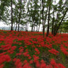 Red Spider Lily in Kinchakuda