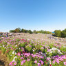 Cosmos flowers in Showa-kinen Park