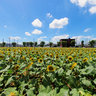 Sunflower field in Tokyo