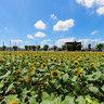 Sunflower field in Tokyo
