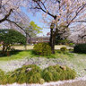 Cherry Blossoms in Seikei School