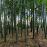 Bamboo trees in Tonogayato park