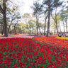 Tulip beds in Hitachi Kaihin park